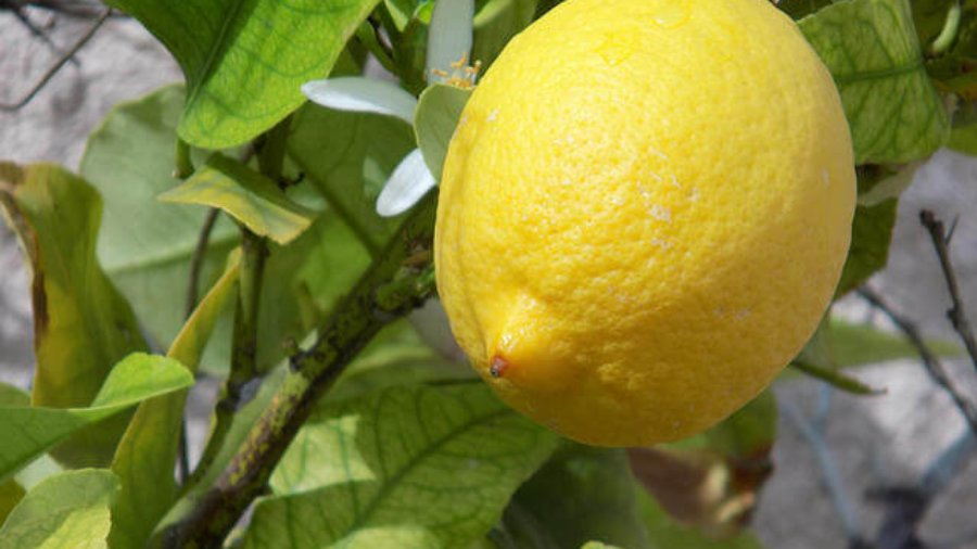 cleansing power of lemon, natural cleaning lemon, lemon essential oil, lemons
